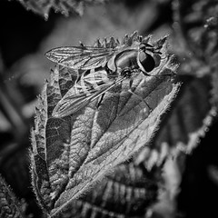 2019-06-11 22-36-14 (C) copy- on1 (douglasjarvis995) Tags: hover fly macro insect bug mono monochrome pentax k1 nature wildlife ilkley