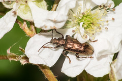 Golden Beetle (Philip McErlean) Tags: beetle gold metallic pitted plateumaris sericea discolor flower raynox dcr150 dcr 150