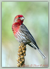 House Finch (Haemorhous mexicanus) (ctofcsco) Tags: 1500 20x 2x 600mm 7d 7dclassic 7dmark1 7dmarki canon explore geo:lat=3888043862 geo:lon=10478760537 geotagged image landscape nature papeton unitedstates colorado coloradosprings didnotfire digital ef2x ef2xii ef300mmf28lisusm20x eos eos7d esplora explored extender f56 flashoff iso200 partial photo pic pretty renown shutterspeedpriorityae supertelephoto teleconverter telephoto usa