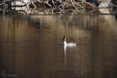 Female Goosander (marekidec) Tags: 2019 kuźnik mergusmerganser birds goosander