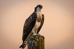 young osprey in the setting sun (robertskirk1) Tags: nature outdoor wildlife animal bird osprey melbourne florida fl lyh land yacht harbor park animalplanet pandionhaliaetus unitedstatesofamericausa