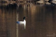 Male Goosander (marekidec) Tags: 2019 kuźnik mergusmerganser birds goosander