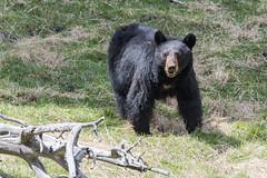 Somethings got her attention (ChicagoBob46) Tags: blackbear bear sow yellowstone yellowstonenationalpark nature wildlife coth5 ngc naturethroughthelens npc