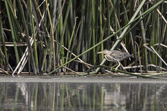 Juvenile Green Heron. (roederspeech) Tags: lagunalake lakebirds nature wildlife birds greenheron