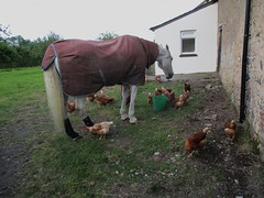 Horse and Chickens (Bridgemarker Tim) Tags: horses chickens dartmoor
