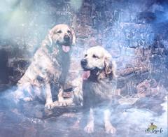 Henry and Sam (atlas-fotografie) Tags: dogs dogphotographer dogphotography portrait outdoorphotography mystic goldenretriever
