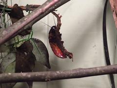 06/10/19 (Mandy_moon) Tags: 2019 hissingcockroach cockroach