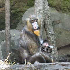 DeBrazza's Monkeys (PMillera4) Tags: debrazzasmonkey primate bronxzoo