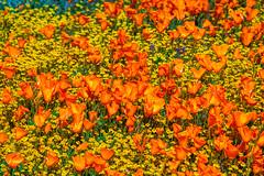 California Superbloom! God Spilled Buckets of Paint Antelope Valley Poppy Reserve Superbloom! California Spring Wild Flower Super Bloom Elliot McGucken Fine Art Landscape & Nature Photography! Nikon D850 & AF-S NIKKOR 28-300mm f/3.5-5.6G ED VR Nikon! (45SURF Hero's Odyssey Mythology Landscapes & Godde) Tags: california superbloom god spilled buckets paint antelope valley poppy reserve spring wild flower super bloom elliot mcgucken fine art landscape nature photography nikon d850 afs nikkor 28300mm f3556g ed vr