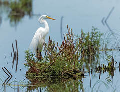 Great Egret (noblesgeorge1) Tags: