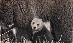 Childhood (agnish.dey) Tags: bear brownbear grizzlybear wildlife wilderness cub nature naturallight naturephotograph nikon naturethroughthelens nationalpark grandtetonnationalpark yellowstone gtnp coth animalplanet wyoming d500