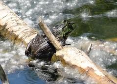 Tuesday's frog (EcoSnake) Tags: amercianbullfrog lithobatescatesbeiana frogs amphibians cottonwoods june idahofishandgame naturecenter