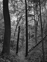 Sunlight through the forest (mswan777) Tags: forest wood tree leaf plant tall hill trail hike canopy outdoor scenic quiet bridgman michigan apple iphone iphoneography mobile ansel monochrome black white