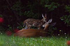 162/365 Mom and Fawn (Maggggie) Tags: deer fawn baby yard grass sweet 365 365the2019edition 3652019