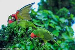 DSC_9950-2 (paul mariano) Tags: parrotsoftelegraphhill urbanbird paulmarianocom paulmariano sanfrancisco california