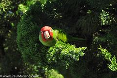 DSC_9908-2 (paul mariano) Tags: parrotsoftelegraphhill urbanbird paulmarianocom paulmariano sanfrancisco california