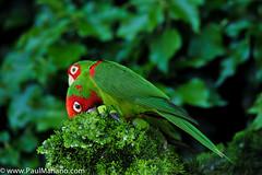 DSC_9916-2 (paul mariano) Tags: parrotsoftelegraphhill urbanbird paulmarianocom paulmariano sanfrancisco california