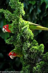 DSC_9920-2 (paul mariano) Tags: parrotsoftelegraphhill urbanbird paulmarianocom paulmariano sanfrancisco california