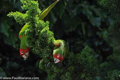 DSC_9926-2 (paul mariano) Tags: parrotsoftelegraphhill urbanbird paulmarianocom paulmariano sanfrancisco california