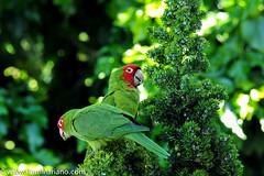 DSC_9939-2 (paul mariano) Tags: parrotsoftelegraphhill urbanbird paulmarianocom paulmariano sanfrancisco california