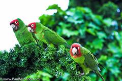 DSC_9951 2-2 (paul mariano) Tags: parrotsoftelegraphhill urbanbird paulmarianocom paulmariano sanfrancisco california