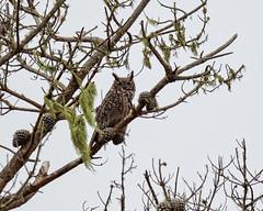 Great Horned Owl #11 (lennycarl08) Tags: greathornedowl owl raptor birdofprey pointreyesnationalseashore