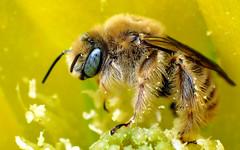 Chimney Bee (Diadasia rinconis) (J.Thomas.Barnes) Tags: