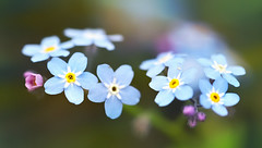 Myosotis (Through Serena's Lens) Tags: macro myosotis forgetmenot pink blue garden botanical dof bokeh plant flowers flora outdoor nature canoneos6dmarkii
