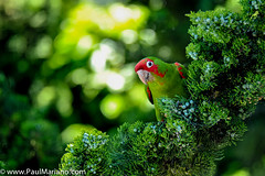 DSC_9905 3-2 (paul mariano) Tags: parrotsoftelegraphhill urbanbird paulmarianocom paulmariano sanfrancisco california
