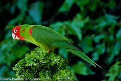 DSC_9911-2 (paul mariano) Tags: parrotsoftelegraphhill urbanbird paulmarianocom paulmariano sanfrancisco california