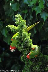 DSC_9928-2 (paul mariano) Tags: parrotsoftelegraphhill urbanbird paulmarianocom paulmariano sanfrancisco california