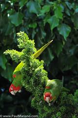DSC_9929-2 (paul mariano) Tags: parrotsoftelegraphhill urbanbird paulmarianocom paulmariano sanfrancisco california