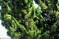 DSC_9932-2 (paul mariano) Tags: parrotsoftelegraphhill urbanbird paulmarianocom paulmariano sanfrancisco california