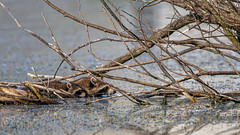 StickBridge (jmishefske) Tags: greenfield wisconsin d850 pond june lagoon westallis nikon raccoon island kit park milwaukee 2019 county animal
