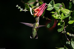 Ruby Throated Hummingbird (grobinette) Tags: rubythroatedhummingbird hummingbird chuparosa colibri patuxentresearchrefuge northtract explored picaflor