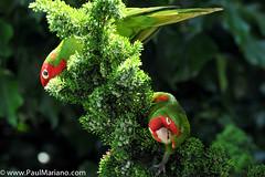 DSC_9923-2 (paul mariano) Tags: parrotsoftelegraphhill urbanbird paulmarianocom paulmariano sanfrancisco california