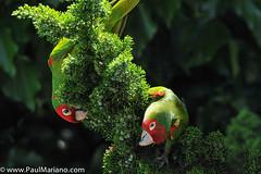 DSC_9924-2 (paul mariano) Tags: parrotsoftelegraphhill urbanbird paulmarianocom paulmariano sanfrancisco california
