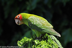 DSC_9930-2 (paul mariano) Tags: parrotsoftelegraphhill urbanbird paulmarianocom paulmariano sanfrancisco california