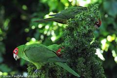 DSC_9933-2 (paul mariano) Tags: parrotsoftelegraphhill urbanbird paulmarianocom paulmariano sanfrancisco california