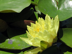 Yellow Water-Lily.