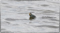 Terrapin scoping the shore for a landing (RKop) Tags: delawarebay turtle raphaelkopanphotography d500 600mmf4evr 14xtciii newjersey capemay