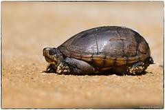 Mud Turtle (RKop) Tags: delawarebay turtle raphaelkopanphotography d500 600mmf4evr 14xtciii newjersey capemay
