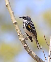 IMG_0501  Paruline à croupion jaune (Marie-Helene Levesque) Tags: oiseau abitibi valdor eastsullivan east paruline parulineàcroupionjaune mariehélène mariehelene