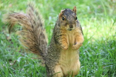 364/365/4016 (June 10, 2019) - Fox Squirrels (and friends) on a Spring Day at the University of Michigan - June 10th, 2019 (cseeman) Tags: gobluesquirrels squirrels foxsquirrels easternfoxsquirrels michiganfoxsquirrels universityofmichiganfoxsquirrels annarbor michigan animal campus universityofmichigan umsquirrels06102019 spring eating peanuts juneumsquirrel juveniles juvenilesquirrels lefty leftysquirrel missingpaw umleftysquirrel 2019project365coreys yearelevenproject365coreys project365 p365cs062019 356project2019