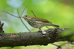 Ovenbird (Digital Plume Hunter) Tags: