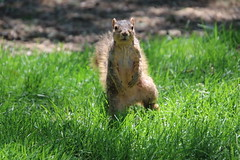 365/365/4017 (June 11, 2019) - Fox Squirrels (and friends) on a Spring Day at the University of Michigan - June 11th, 2019 (cseeman) Tags: gobluesquirrels squirrels foxsquirrels easternfoxsquirrels michiganfoxsquirrels universityofmichiganfoxsquirrels annarbor michigan animal campus universityofmichigan umsquirrels06112019 spring eating peanuts juneumsquirrel juveniles juvenilesquirrels lefty leftysquirrel missingpaw umleftysquirrel 2019project365coreys yearelevenproject365coreys project365 p365cs062019 356project2019