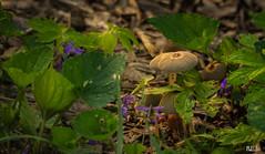 Fungi to right of them (noel_upfield1) Tags: ©noelaupfieldpixlbypixlphotography eloraon fungi mushroom nikond7200 sigma100400ƒ563