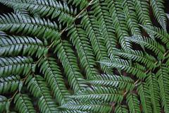 Helechos (Diego_Valdivia) Tags: parque nacional puyehue national park loslagos chile helechos fern planta plant bosque forest green fosrestscape landscape nature biodiversity canon eos 60d