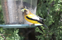 Evening Grosbeak (Coccothrautes vespertinus) (Gerald (Wayne) Prout) Tags: eveninggrosbeak coccothraustesvespertinus animalia chordata aves passeriformes fringillidae coccothraustes vespertinus mybackyard mountjoytownship cityoftimmins northeasternontario northernontario ontario canada prout geraldwayneprout canon canoneos60d eos 60d digital camera canonlensef70300mmf456isusm lens ef70300mmf456isusm photographed photography birds perchingbirds songbirds evening grosbeak grosbeaks yellow white black animals wildlife nature birdfeeder seeds backyard mountjoy township city timmins northeastern northern