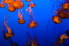 Jellyfish diving (jamestapatio) Tags: